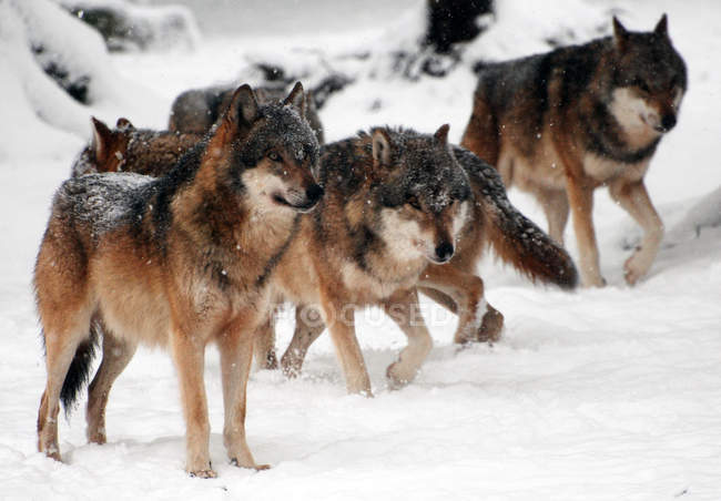 Herd of wild wolfs hunting in winter — Stock Photo