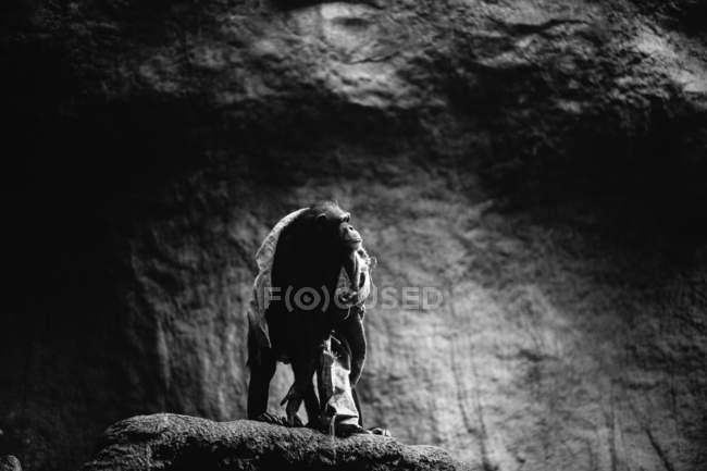 Вид сбоку осанки обезьяна на рок — стоковое фото