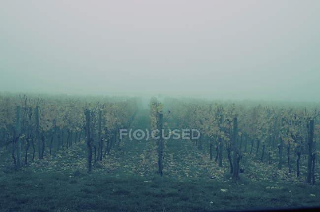 Filari di viti colture agricole in tempo nebbioso — Foto stock