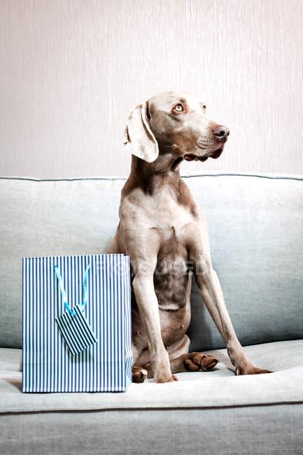 Shorthaired chien Braque de Weimar, assis sur le sofa à sac shopping bleu — Photo de stock