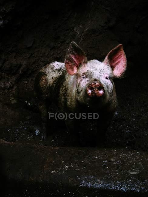 Грязные Домашняя свинья на ферме — стоковое фото
