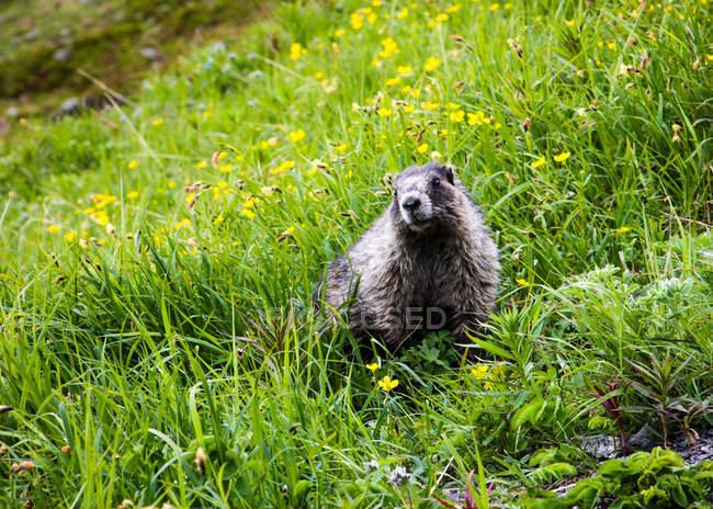 Murmeltiere sitzen im grünen Feld mit Blumen — Stockfoto