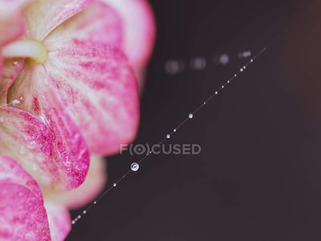 Цветут гортензии и паутину с росой — стоковое фото
