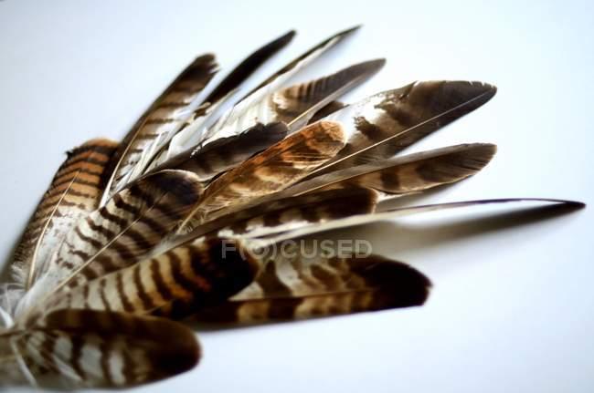 Ястреб перья на белом фоне — стоковое фото