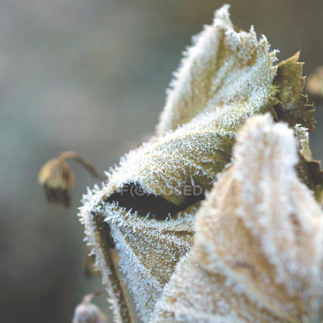 Blattpflanze Blättern bedeckt mit frost — Stockfoto