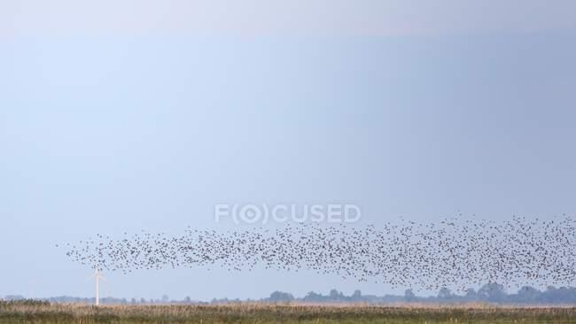 Vögel in Scharen in den blauen Himmel über Feld — Stockfoto