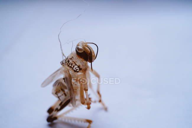 Insecte de criquets morts — Photo de stock