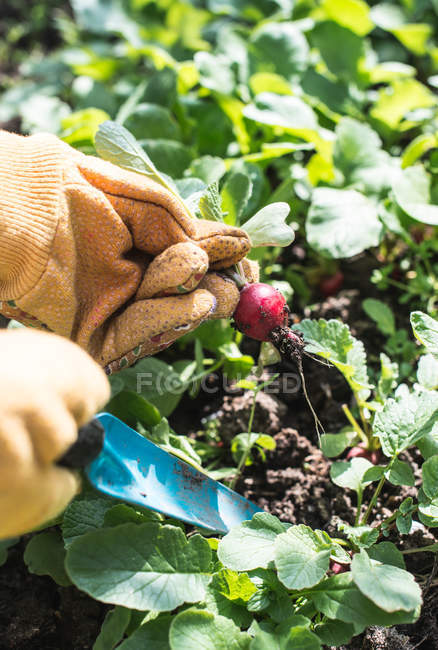 Picking radishes in garden — Stock Photo