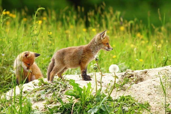 Лисиця руда тварин на відкритому повітрі — стокове фото