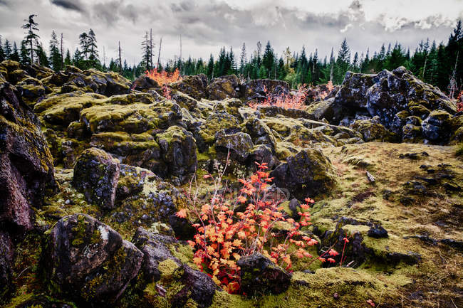Natural scene with forest, stones overgrown by moss on foreground, Louwala-Clough, Mount St Helens — Stock Photo