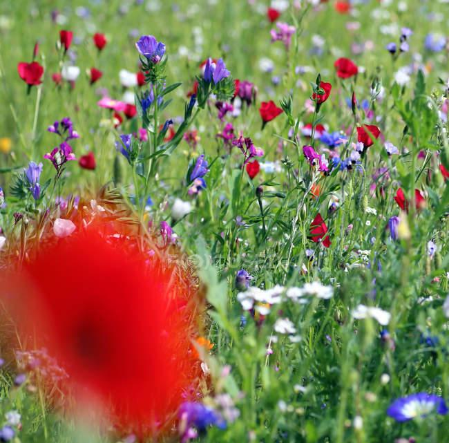 Мак квіти на полі — стокове фото