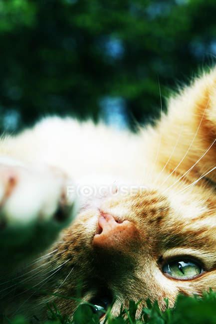 Ginger cat lying on back — Stock Photo