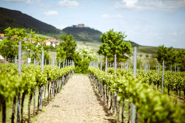 Scenic view on countryside rural landscape with vineyard — Stock Photo