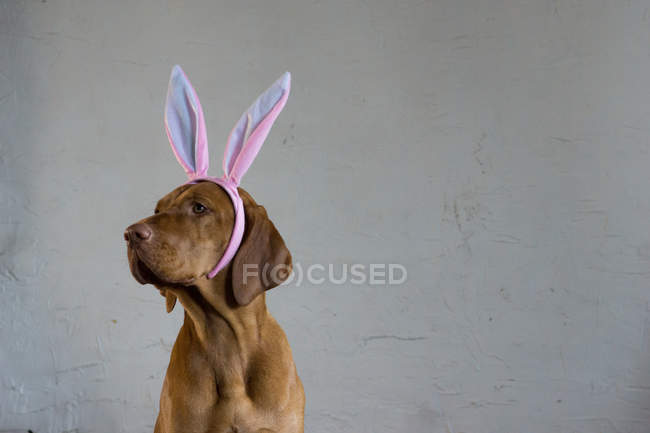 View of Hungarian dog in pink hare ears — Stock Photo