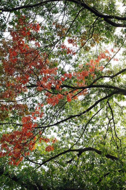 Летний парк деревья с красные и зеленые листья на ветках — стоковое фото