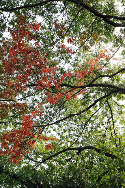 Summer park trees with green and red leaves on branches — Stock Photo