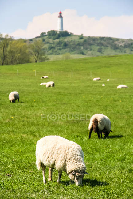 Lighthouse view and grazing sheeps — Stock Photo