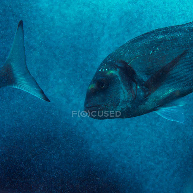 Schwarm von Fischen schwimmen underater — Stockfoto