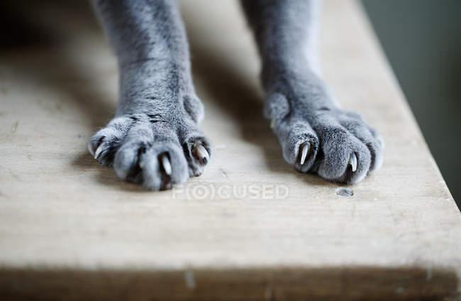 Katzenpfoten mit Krallen — Stockfoto