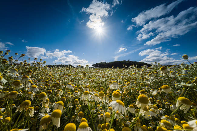 Blooming chamomile flowers — Stock Photo