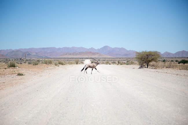 Side view of gemsbok antelope crossed rural road — Stock Photo