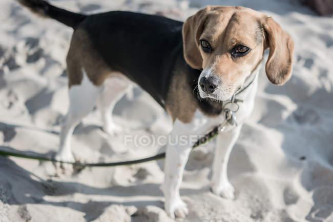 Chien Beagle sur la plage de sable fin — Photo de stock