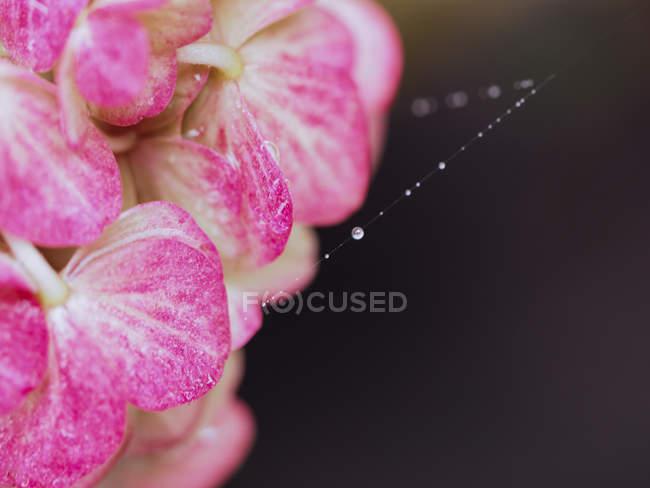 Ortensie fioritura e ragnatela con rugiada — Foto stock