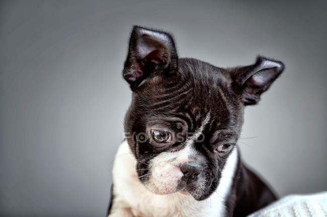 Black and white boston terrier — Stock Photo