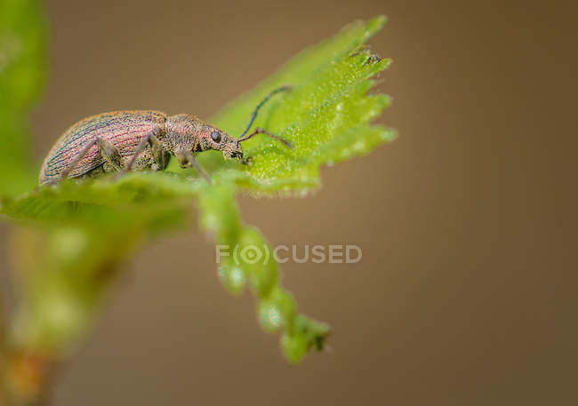 Beetle assis sur feuille verte — Photo de stock