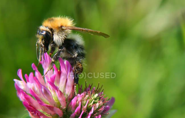 Abeilles, recueillir le nectar et le pollen — Photo de stock