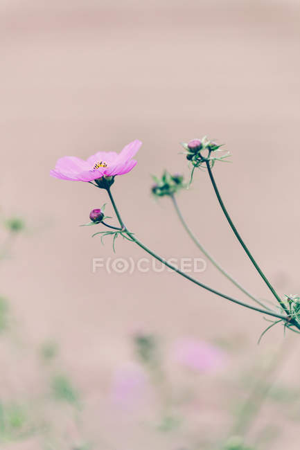 Flower on stem with buds — Stock Photo
