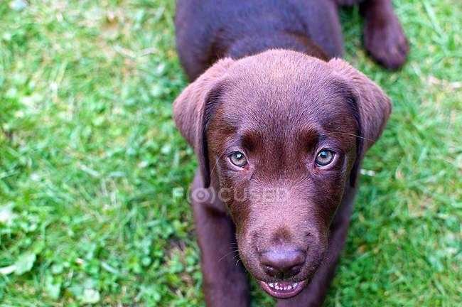 Chien de race Labrador — Photo de stock