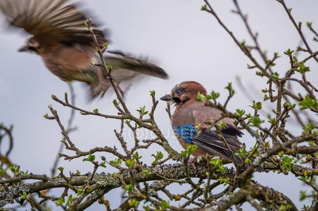 Vista de aves jay sobre rama de árbol y volando - foto de stock