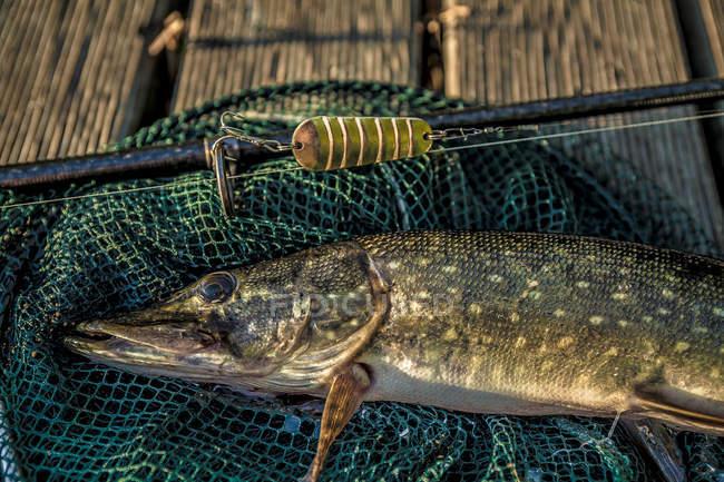 Vista de cerca del pescado capturado con caña y red de aterrizaje en tablones de madera - foto de stock