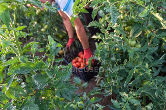 Gardener harvesting red tomatoes in garden — Stock Photo