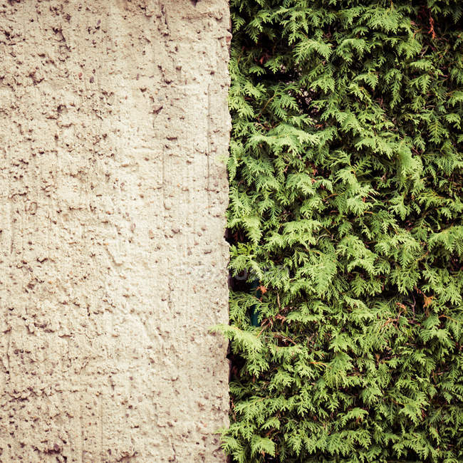 Обрезанный вид хвойных деревьев листья и бетонная стена — стоковое фото