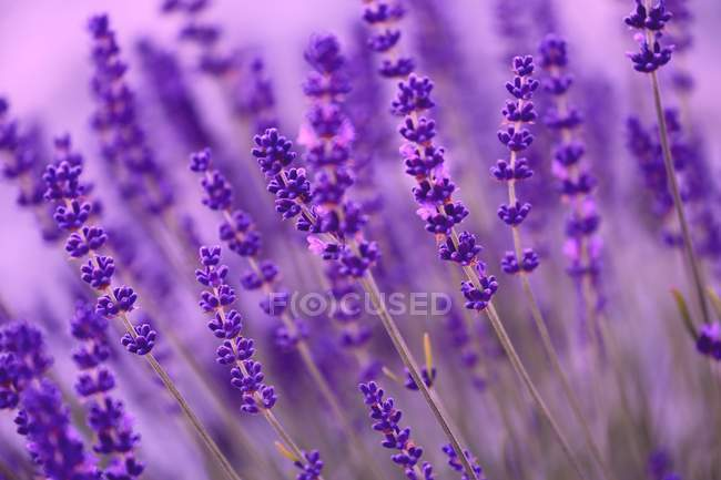 Blossoming lavender flowers — Stock Photo