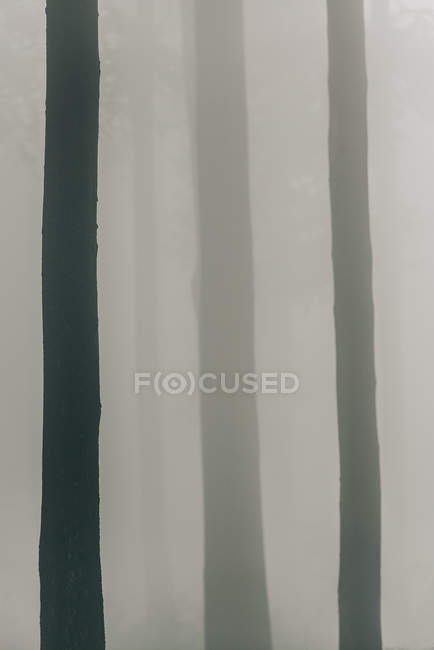 Trees trunks in foggy weather — Stock Photo