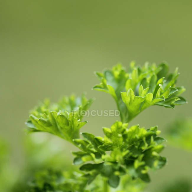 Зеленая петрушка филиал — стоковое фото