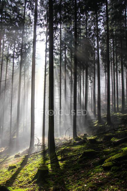 Sun beam lighting through trees — Stock Photo