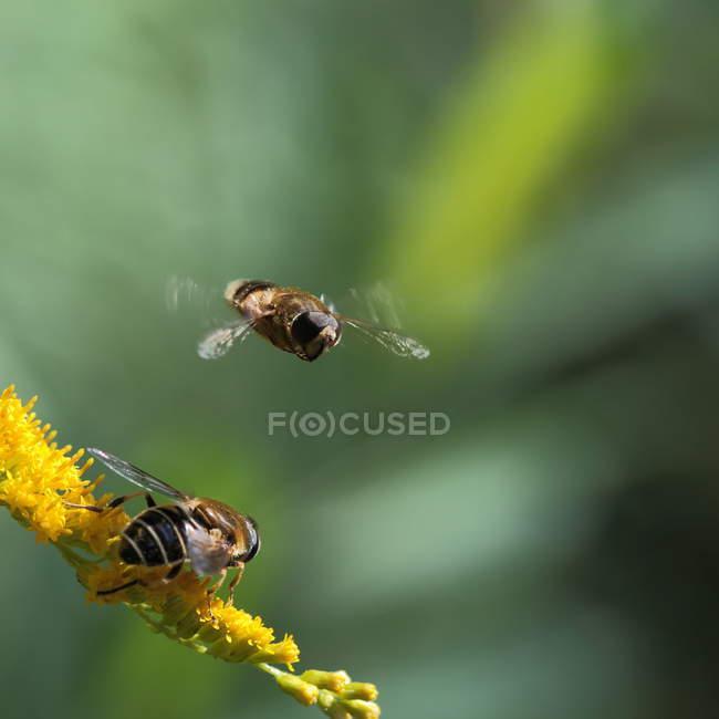 Dos abejas por el amarillo de flores silvestres, vista de cerca - foto de stock