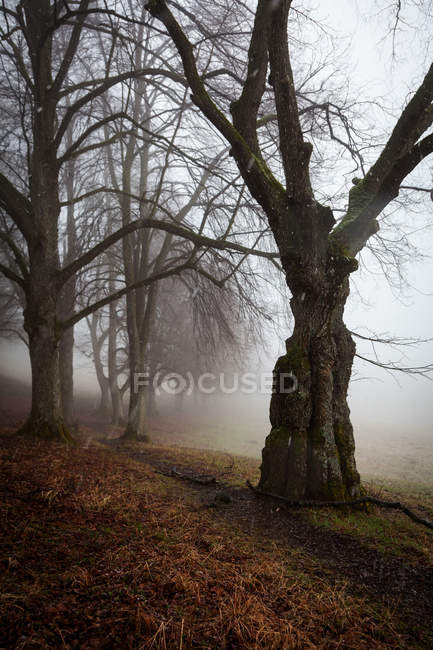 Trees in foggy weather — Stock Photo