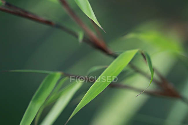 Green leaves on bamboo plant — Stock Photo