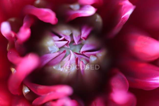Calice del fiore del giardino in fiore — Foto stock