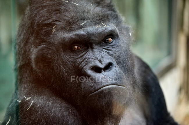 Portrait of gorilla looking in camera — Stock Photo