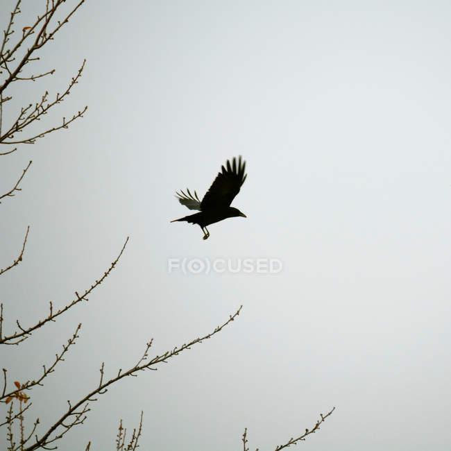 Corvo nero che volano in cielo — Foto stock