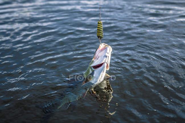 Vista diurna del pescado fresco en gancho de pesca - foto de stock
