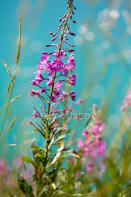 Подано трави та пурпурні та сині квіти — стокове фото