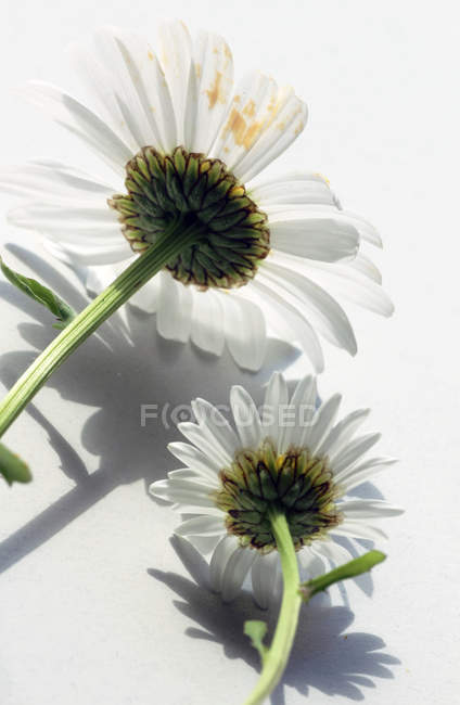 Daisy blooming flowers — Stock Photo