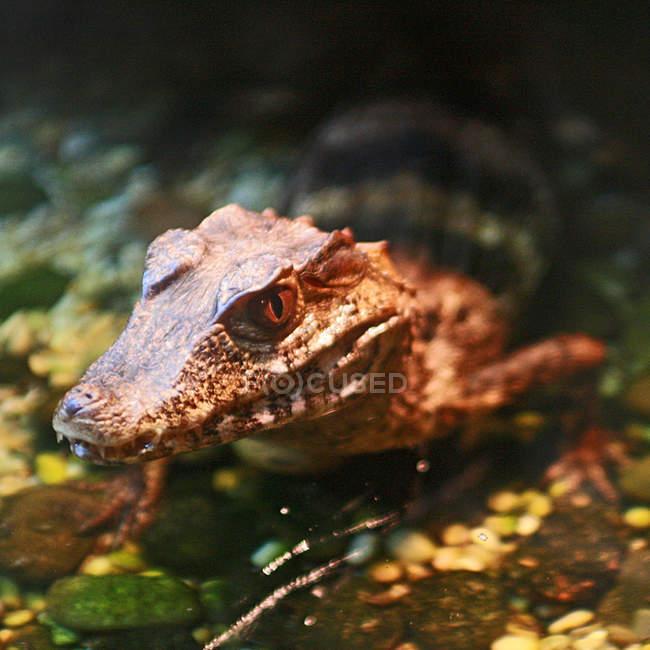 Closeup vista do focinho de crocodilo — Fotografia de Stock